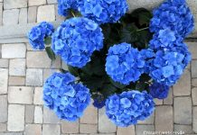 blaue-hortensien