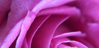 Bild-mit-rose